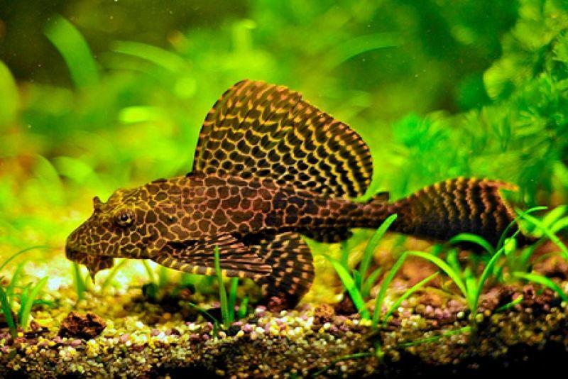 аквариумные рыбки фото и название сомики парчовые